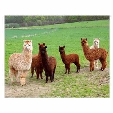 Afgeprijsde 3d magneten met alpacas