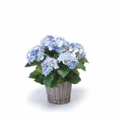 Blauwe hortensia nepplant in mand 45 cm