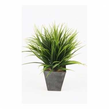 Gras nepplant in pot 30 cm